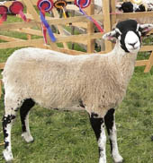 A prize-winning Swaledale Tup from Kathleen and Kenneth's farm